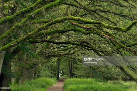 a canopy of oak tree branches layered in moss arch a