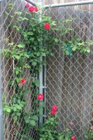 Climbing Plants On Trellis Cover A Chain Link Fence In No Time Flat Dave U0027s Garden