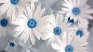 white and blue flowers cool white wallpaper with blue flowers photos images for wedding