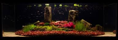 Dramatic Aquascapes An Article On Red Aquatic Plants The Green Machine