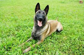 belgian malinois quotes longevity health and hereditary conditions within the belgian
