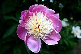 Peony Flower Peony Wikipedia