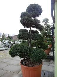 Laurel Topiary - cloud pruning u2013 the art of taming nature no2 jardin