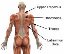 Human Anatomy Upper Body Machine Weights Upper Body Gym Exercises Physioadvisor