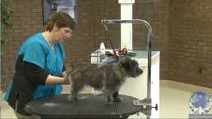 cairn hair cuts grooming the cairn terrier learn2groomdogs com