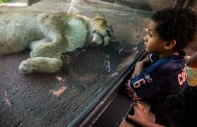 Chicago Lincoln Park Zoo Lights by Lincoln Park Zoo 8 Reasons To Love It Chicago Tribune