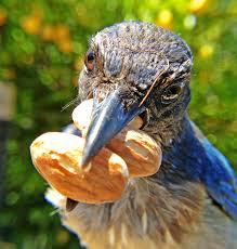 guide feeding birds peanuts backyard chirper blog