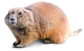 woodchuck animal facts groundhogs for kids dk find out