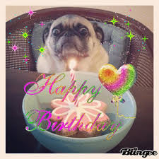 Happy Birthday Pug Meme - happy birthday pug gif find share on giphy