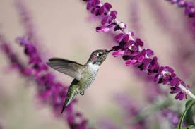 hummingbird flowers hummingbird gardens herbs and flowers for hummingbirds