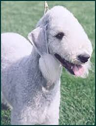 bedlington terrier genetic disease bedlington terrier canada u0027s guide to dogs