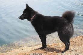 belgian shepherd x kelpie schipperke dog breed standards