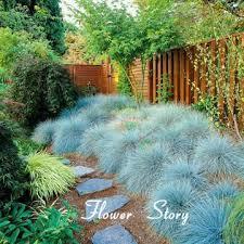 100 blue fescue grass seeds festuca glauca perennial hardy