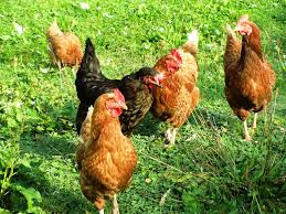 11 safety tips for handling backyard chickens farm and dairy