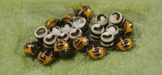 harlequin bug pest identification for vegetable gardens garden
