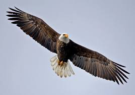 stellers sea eagle wallpapers a list of animals that start with e this large collection of