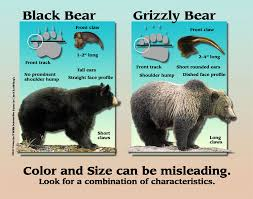 Bears Montana Hunting And Fishing - game species bear identification program washington department of