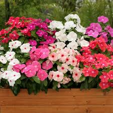 vinca flower vinca seeds madagascar periwinkle annual flower seeds