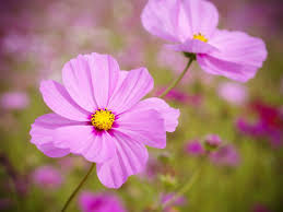 native plants in brazil how to plant grow and care for cosmos