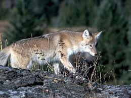 Coyote In My Backyard Milton Woman Watched Coyote Kill Fawn Safety Of Pets Is A Concern