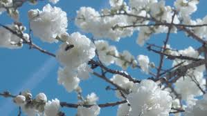 white and blue flowers white flowers on tree on blue sky with bees by rudovideostudio