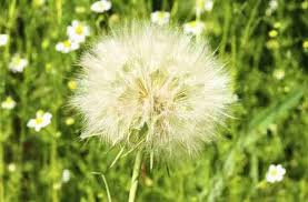 Dandelion Facts Allergy Season Surprising Facts You Need To Know Seeker