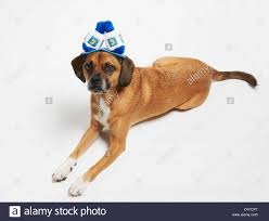 hanukkah hat puggle in hanukkah hat stock photo royalty free image 52585071