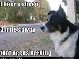 Border Collie Meme - 21 best border collie memes images on pinterest dogs jokes and