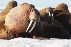 35 000 walruses gathered in alaska business insider