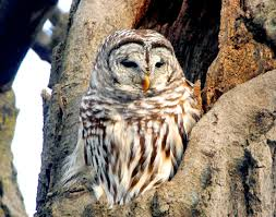 minnesota park trail closed after owl attacks 3 year cities