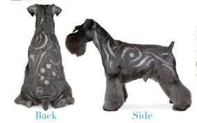 schnauzer hair styles 7 pageant worthy schnauzer dog haircuts hairstylec