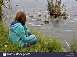 beavers swimming stock photos u0026 beavers swimming stock images alamy