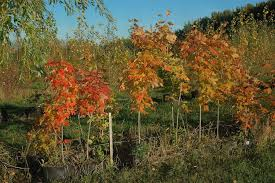 ornamental maples