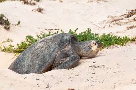imagenes tortugas verdes galápagos tortugas verdes a poner huevos en una playa en la isla de