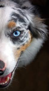 australian shepherd eye color genetics best 25 blue merle ideas on pinterest mini aussie shepherd