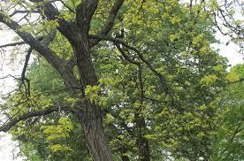 file honey locust tree morristown nj img 6472 jpg wikimedia
