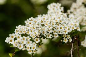 Shrub Small White Flowers - macro bush of small white flowers on a branch stock photo image