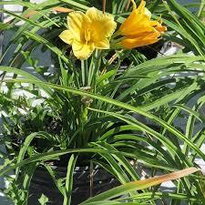 stella daylily mini stella daylily nature nursery