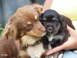 australian shepherd and poodle mini aussie shepherds and aussie poos marathon point farm