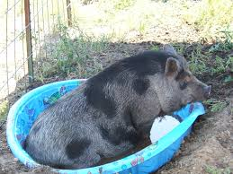 Backyard Pig The Homestead Hog American Preppers Network American Preppers