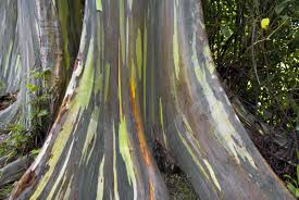 rainbow eucalyptus tree learn about rainbow eucalyptus growing