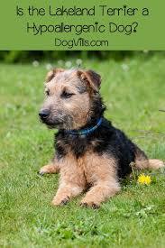 Is the Lakeland Terrier Hypoallergenic Dog Pinterest
