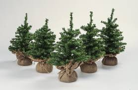 excellent ideas christmas tree seedlings balsam fir plug for sale