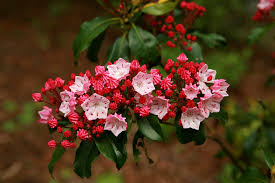 trees are also native plants mountain laurel plants how to grow them common error