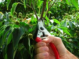 berkshire botanical garden pruning shrubs and small ornamental trees