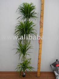 dracaena reflexa anita buy dracaena product on alibaba com