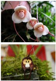 monkey orchid the 25 best monkey orchid ideas on flowers