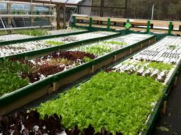 commercial aquaponics farm most likely the most effective on