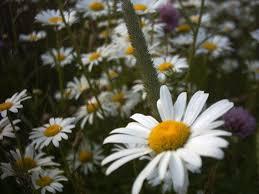 daisys photograph 1402913 freeimages com