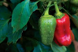 10 Tips For Growing Peppers dr susan hamilton author at tennessee home and farm page 2 of 3